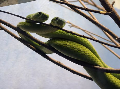 snakes hanging out in the branches
