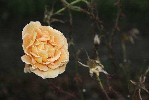 close up of a cream rose