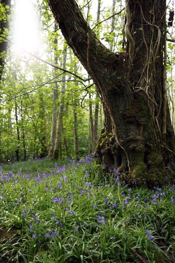 a wood full of bluebells