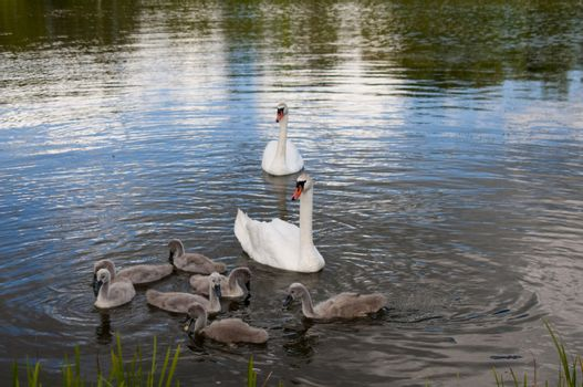 High resolution image. Swan with baby birds on lake.