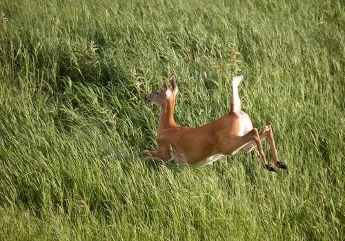 Doe leaping through Saskatchewan green vegetation