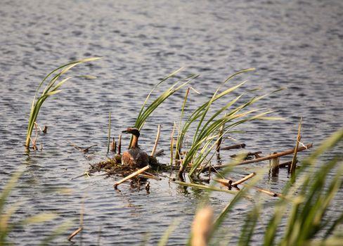 Horned Grebe on nest in scenic Saskatchewan