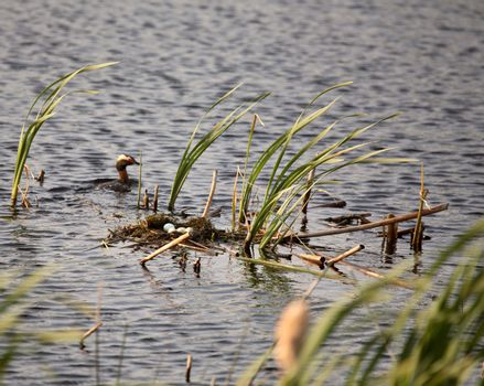 Horned Grebe circling nest with eggs