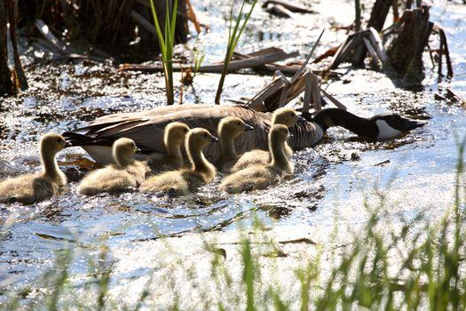 Canada Goose goslings in scenic Saskatchewan