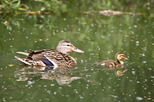 Blue-winged Teal hen and duckling at Crescent Park