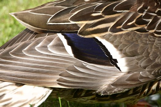 Markings of a Blue-winged Teal at Crescent Park in Moose Jaw