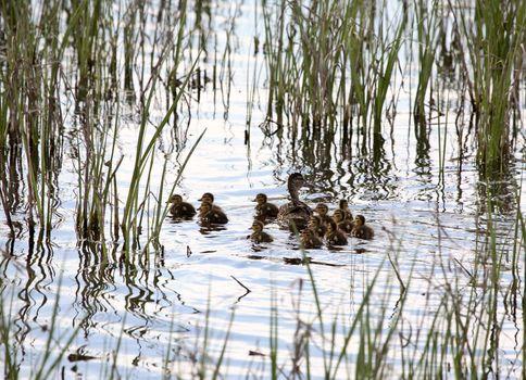 Blue-winged Teal hen and ducklings in Saskatchewan pond