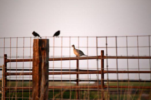 Cowbirds and Sharp-tailed Grouse in Saskatchewan