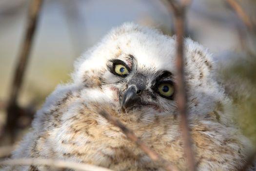 Great Horned Owlet in nest in Saskatchewan