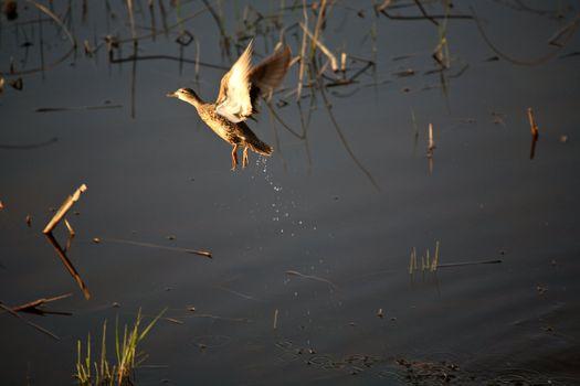 Female Blue-winged Teal taking flight from pothole