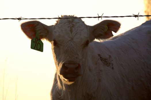 Young calf by barbed-wire fence in Saskatchewan