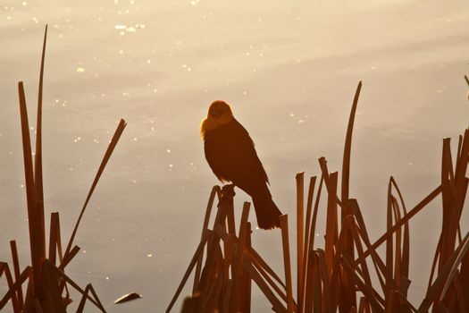 Male Yellow-headed Blackbird perched near pothole