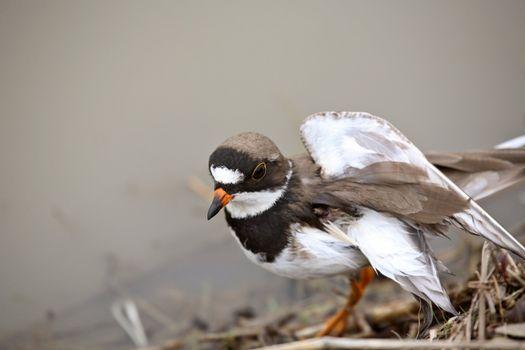 Killdeer with broken wing in Saskatchewan