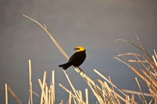 Yellow-headed Blackbird on water plant in Saskatchewan