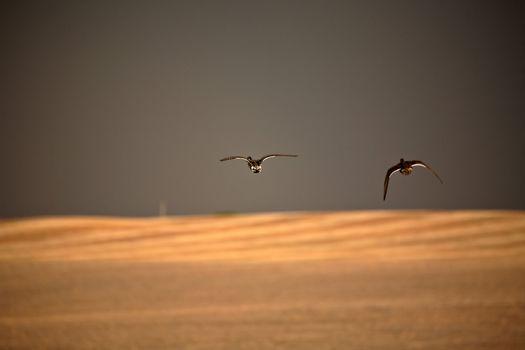 Two ducks in flight during stormy weather in Saskatchewan
