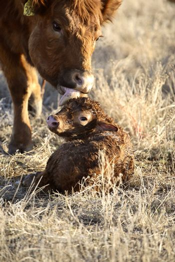 New born calf being cleaned by mother