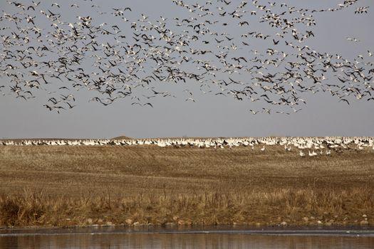 Flock of snow geese on stubble field