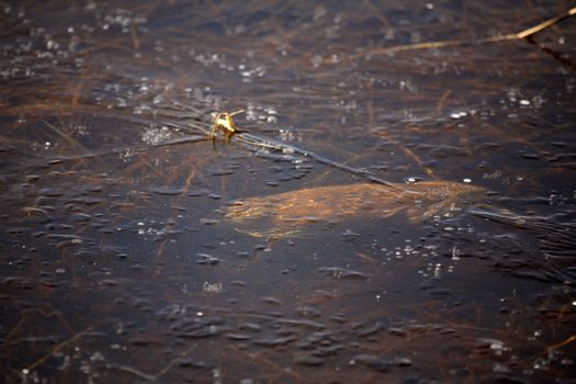 muskrat swimming under thin ice