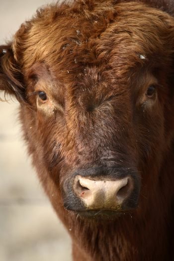 Close up of Hereford bull