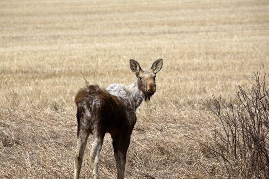 Moose calf in early spring