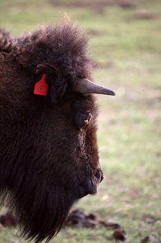 Close up of an American Bison in Saskatchewan
