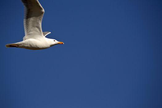 California Gull in flight in Saskatchewan
