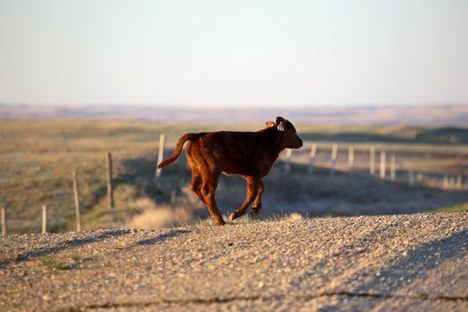 Calf loose on country road in Saskatchewan