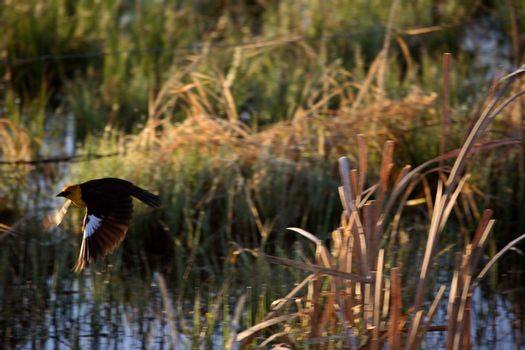 Yellow-headed Blackbird in flight in Saskatchewan