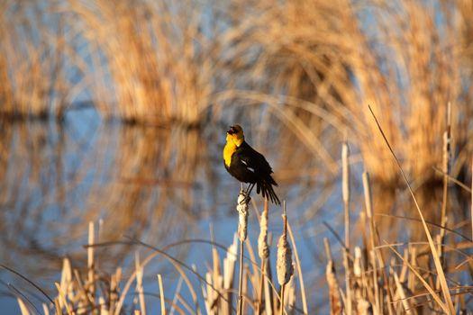 Yellow-headed Blackbird perched on cattail in Saskatchewan