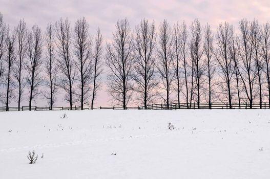 Winter landscape with a row of tall trees at sunset
