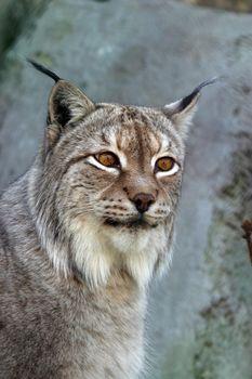 A lynx looking
