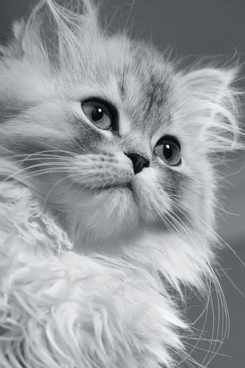 Close-up of the grey kitten on a white background