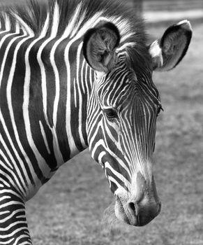 Portrait of a sad zebra in zoo. b/w