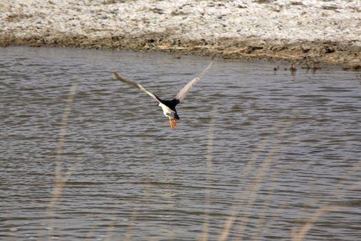 Black-crowned Night Heron in flight in Saskatchewan