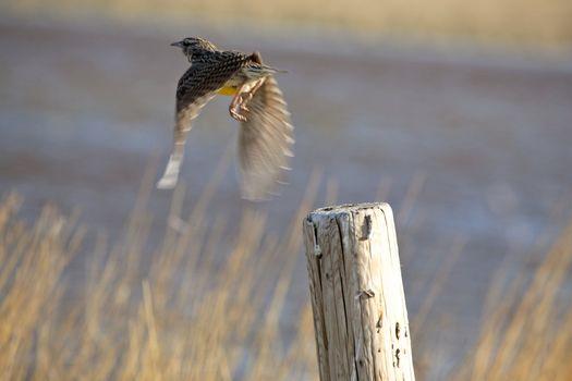 Meadowlark taking flight from fence post in Saskatchewan