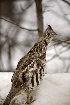 Ruffed Grouse in winter