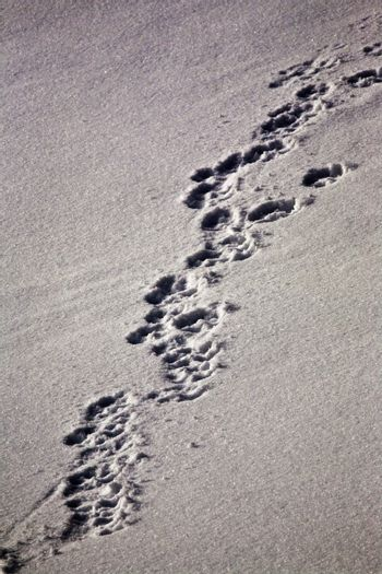 Wolf tracks in snow