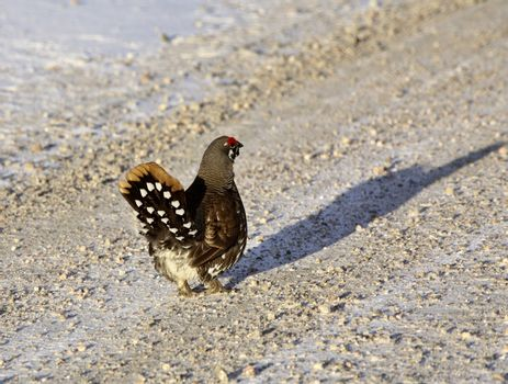 Spruce Grouse on logging road in winter