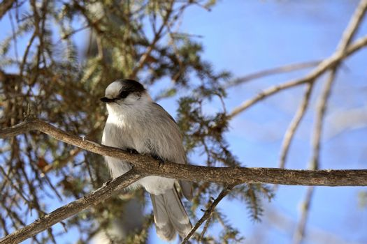 A Gray Jay perched on branch