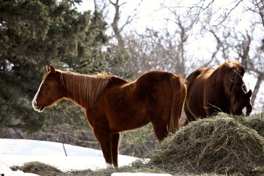 horses and winter feed