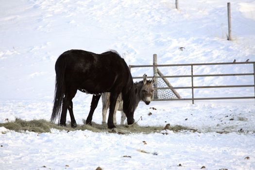 Burro and horse sharing winter feed