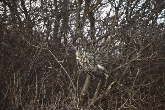 Great Horned Owl perched in buhes
