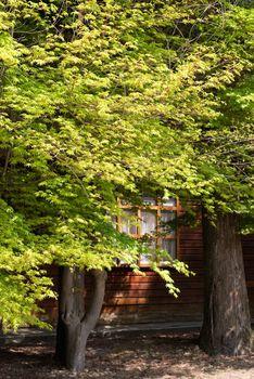Green maple trees