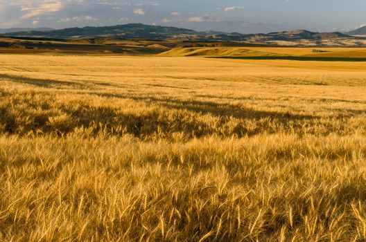 Ripe wheat fields and distant hills, Gallatin County, Montana, USA