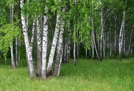 birch trees with young foliage in a summer forest