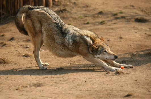 The wolf of steppe smells carrots. Zoo in Moscow