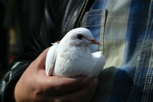 The white pigeon in the big hand of the man