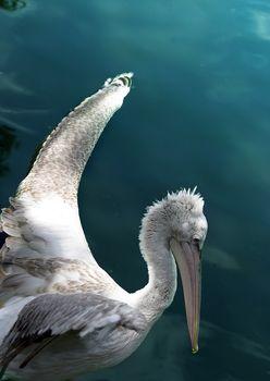 Pelikan in the pool