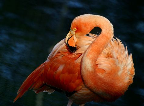 Flamingo standing in water