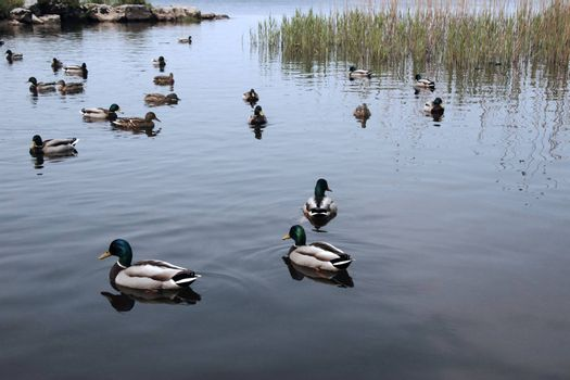 ducks swimming in a lake